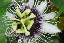 Passion-fruit-flower
