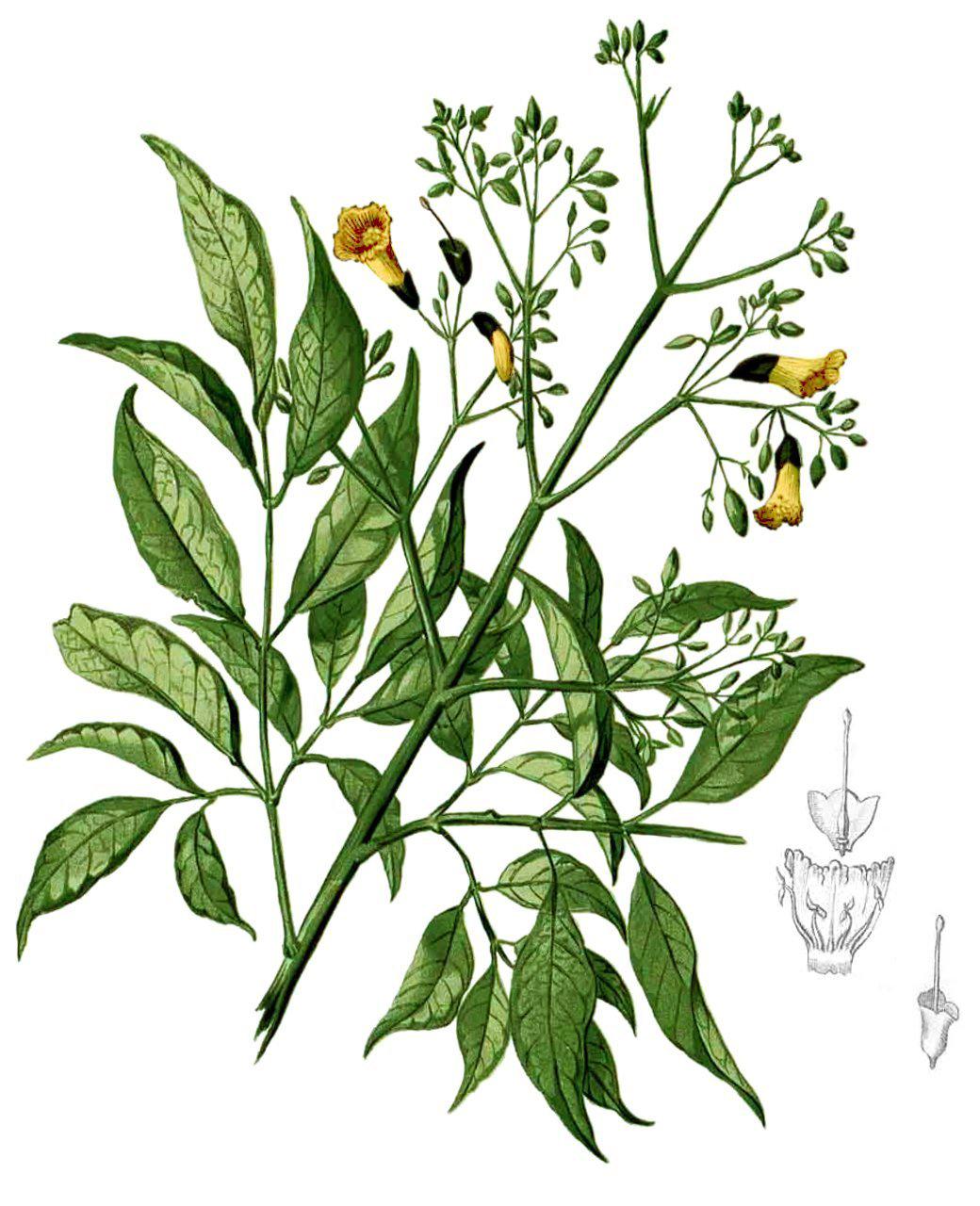 Plant-illustration-of-Patala