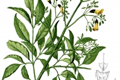 Plant-illustration-of-Patala