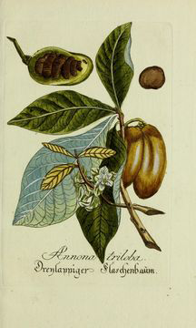 Illustration-of-Paw-paw-plant