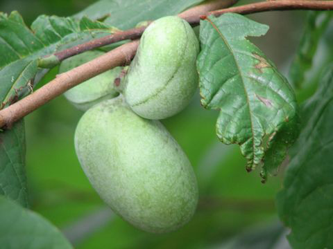 Paw Paw facts and health benefits