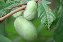 Paw-paw-fruit
