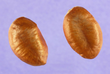 Seeds-of-Paw-paw-fruit