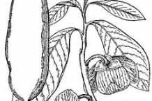 Sketch-of-Paw-paw-plant
