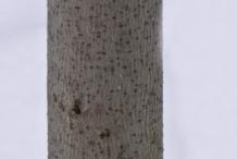 Bark-of-Paw-paw-plant