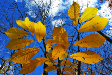 Fall-Leaves-of-Pawpaw