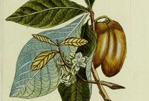 Illustration-of-Paw-paw-plant
