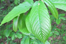 Paw-paw-leaves