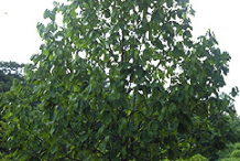Pawpaw-Plant