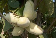 Ripe-Paw-paw-fruit