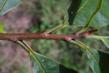 Twig-of-Paw-paw-plant