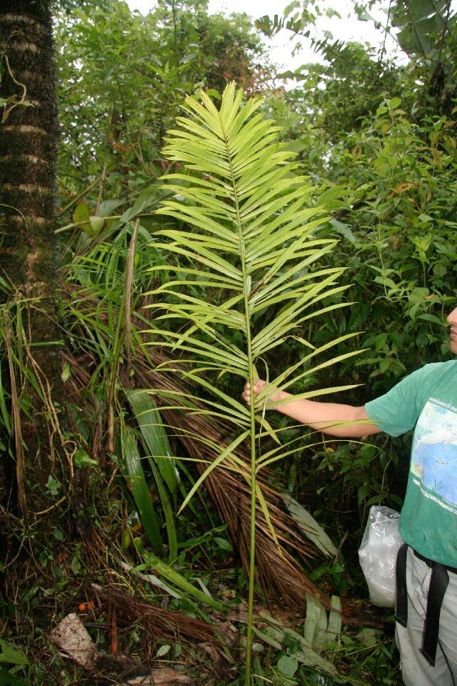 Peach-palm-leaves