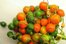 Peach-palm-fruit