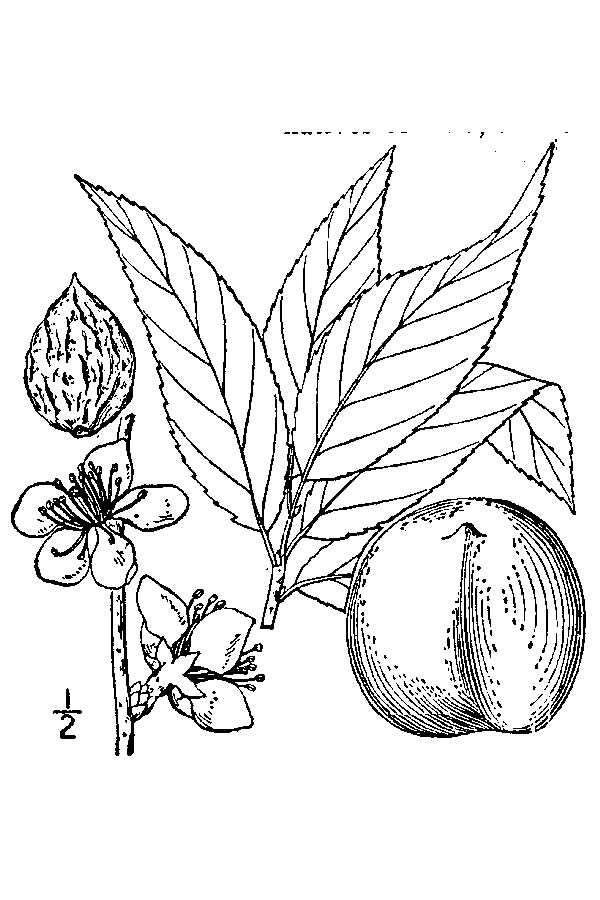 Peach-drawing
