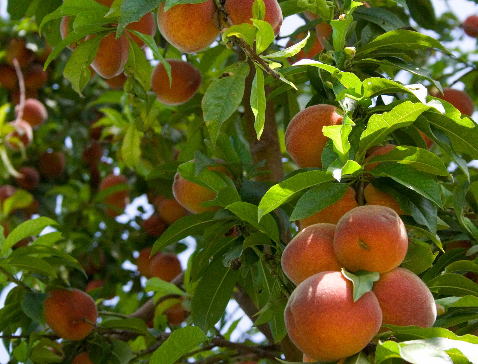 Peach-fruit-in-the-tree