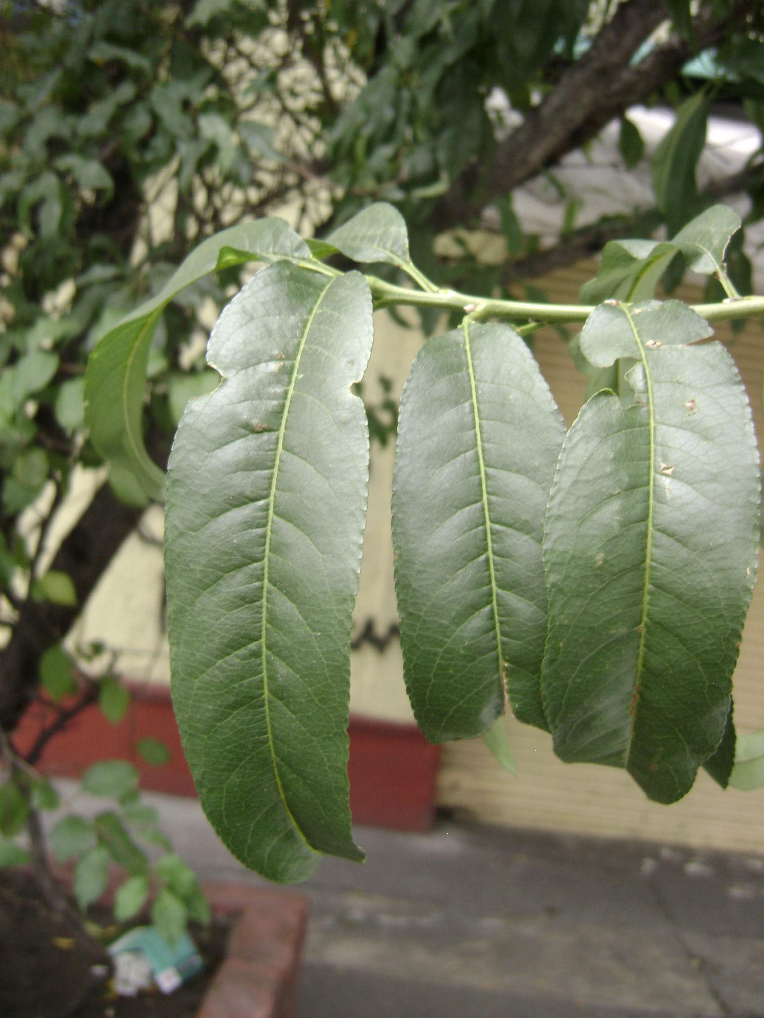 Peach-leaves