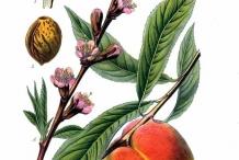 Peach-illustration