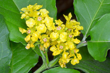 Flower-of-Peanut-Butter-Fruit