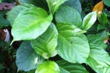 Leaves-of-Peanut-Butter-Fruit