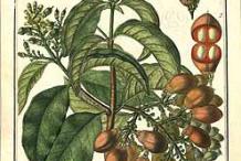 Peanut-Butter-Fruit-Plant-Illustration