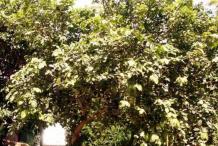 Peanut-butter-fruit-tree