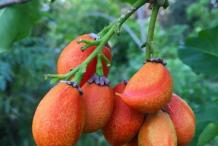 Ripe-Peanut-Butter-Fruit