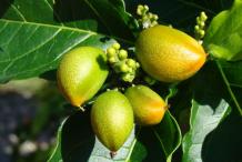 Unripe-fruit-of-Peanut-Butter-Fruit