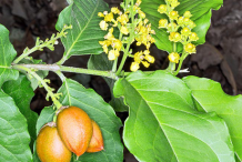 Image-showing-flowers-fruits-and-leaves-of-Peanut-butter-fruit-plant