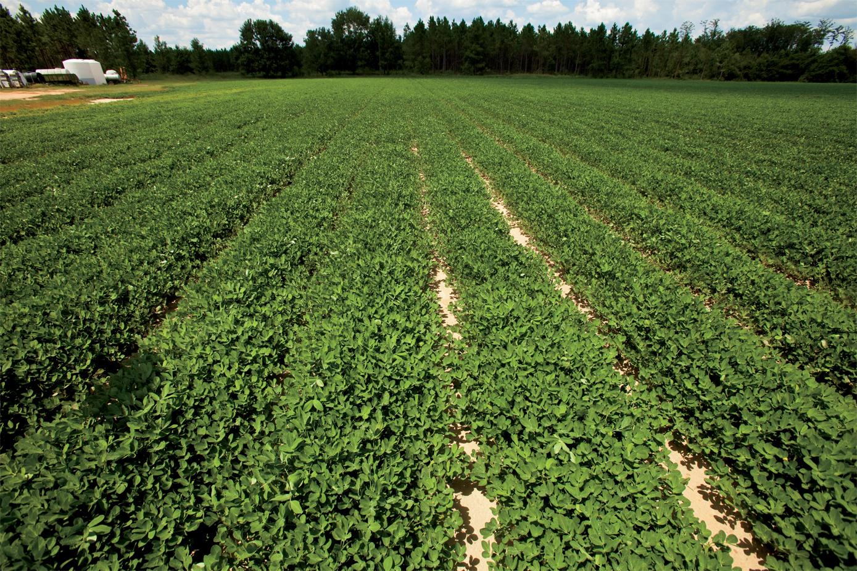 Peanuts-farm