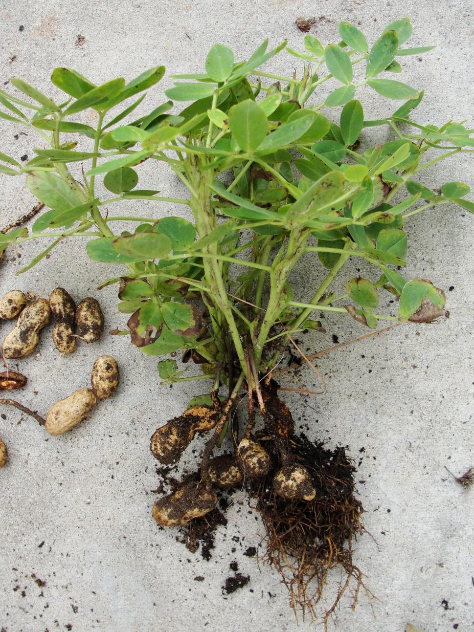 Peanuts-plant