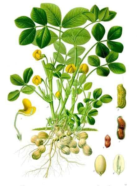 Plant-illustration-of-Peanuts