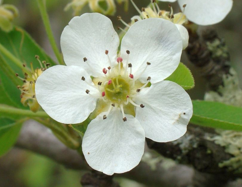 Close-up-flower-of-Pear
