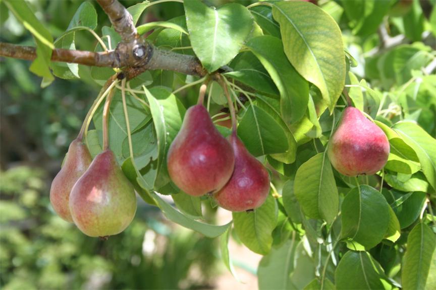 Pear-fruit
