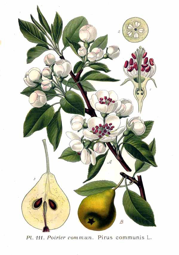 Pear-illustration