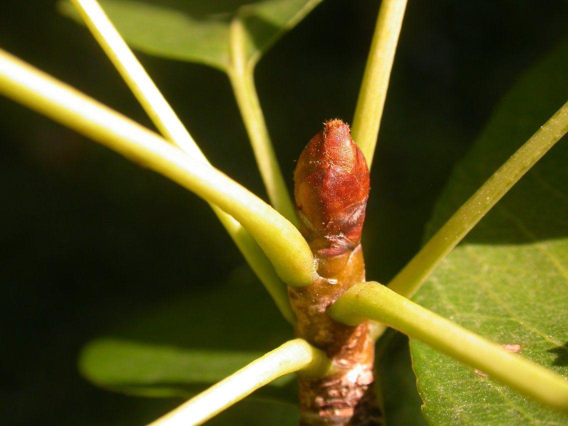 Pear-stem