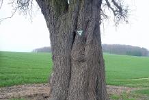 Pear-trunk