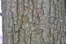 Pear-bark