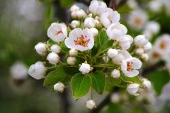 Pear-flower-buds