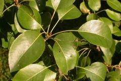Pear-leaves