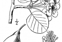 Drawing-of-Pear-plant