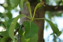 Flower-bud-of-Pear