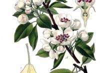 Illustration-of-Pear-plant