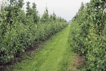 Pear-farm