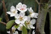 Pear-flowers