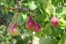 Pear-fruits