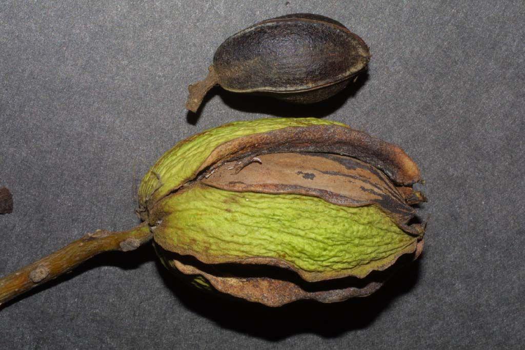 Close-view-of-Pecan-nut