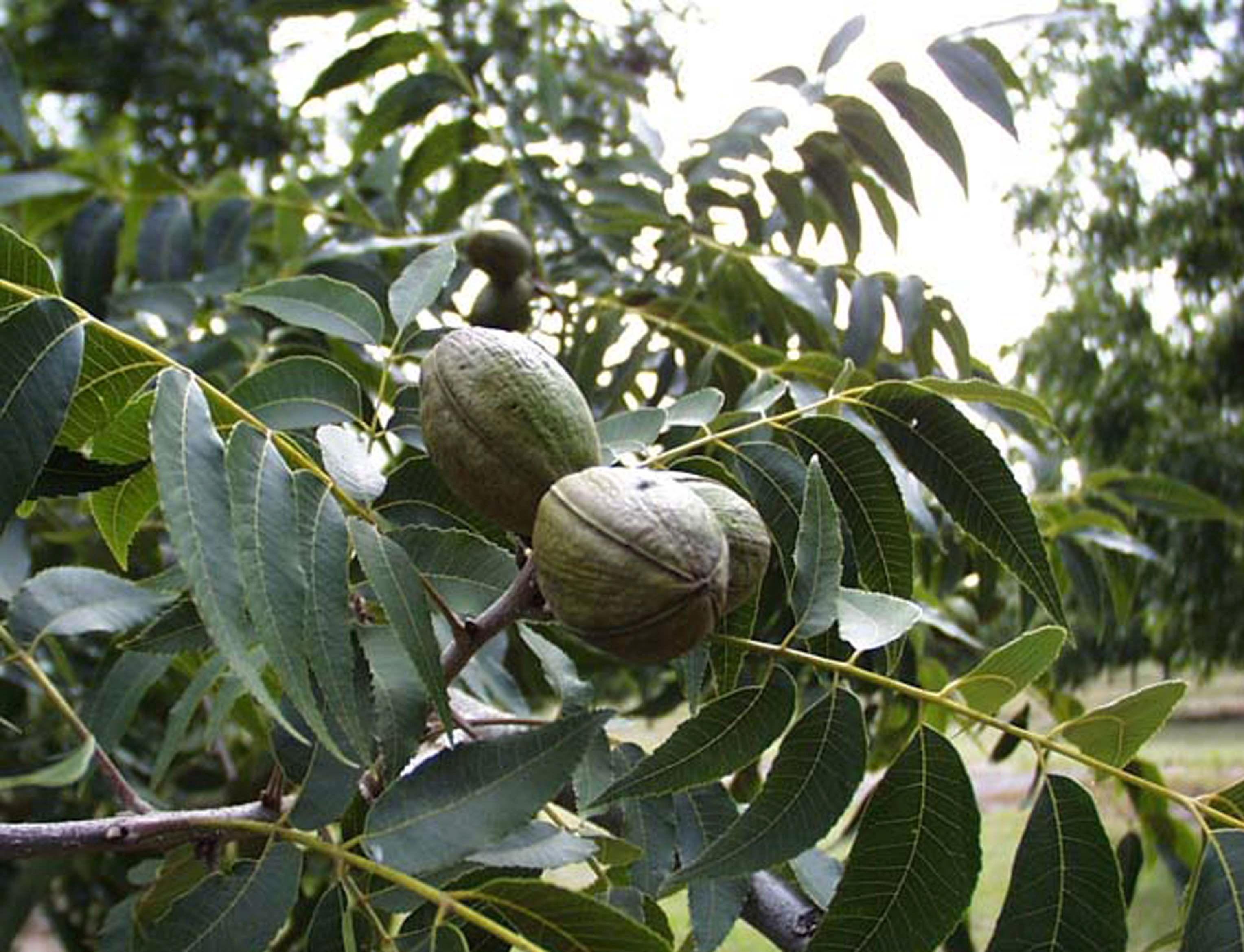 Pecan-fruit-in-the-tree