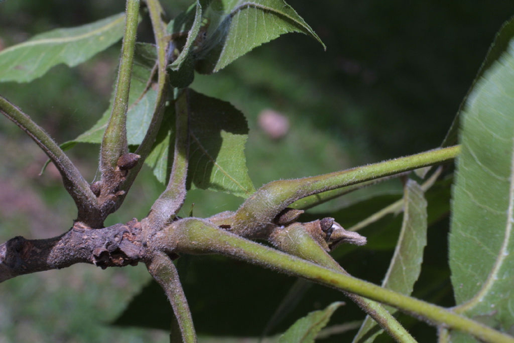 Pecan-twigs