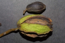Close-view-of-Pecan-nut