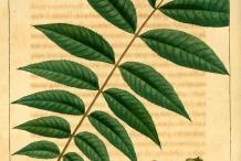 Illustration-of-Pecan-nut